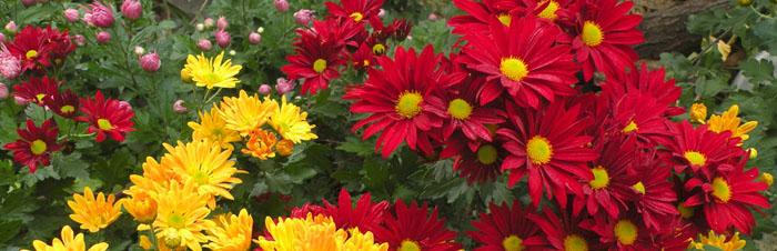 Crisantemi: un fiore unico
